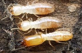 rhinotermitidae - subterranean termites